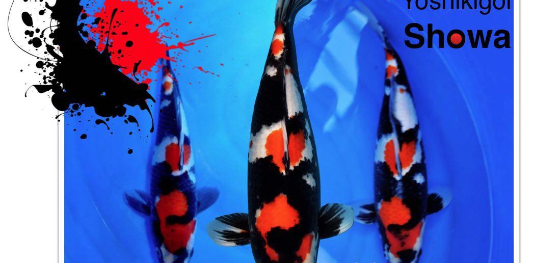 Yoshikigoi Showa bloedlijn