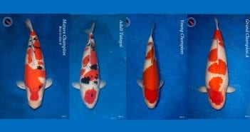Major Awards Belgian Koi Show 2019
